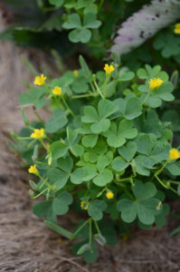 oxalis stricta, a weed