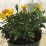thrips damage on marigold leaves