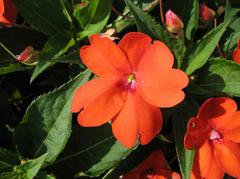 New Guinea impatiens plant