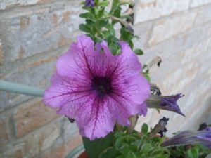 Closeup of petunia flower