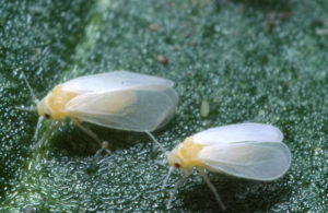 Greenhouse whitefly adults